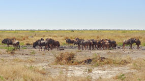 Wildebeests in Botswana Royalty-vrije Stock Foto's