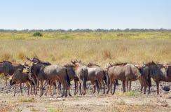 Wildebeests in Botswana. Herd of wildebeests at the Savuti Marsh area in the Chobe National Park in Botswana, Africa Royalty Free Stock Images