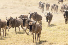 Wildebeests chodzić Obrazy Royalty Free