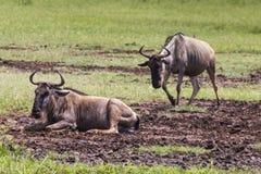 Wildebeests (Connochaetes Taurinus) Walking on Line, Ngorongoro Stock Photos