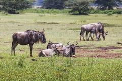 Wildebeests (Connochaetes Taurinus) Walking on Line, Ngorongoro Royalty Free Stock Photo