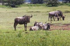 Wildebeests (Connochaetes Taurinus) Walking on Line, Ngorongoro Royalty Free Stock Photography
