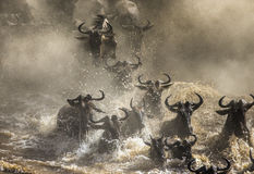 Wildebeests are crossing Mara river. Great Migration. Kenya. Tanzania. Masai Mara National Park. An excellent illustration royalty free stock image