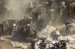 Wildebeests are crossing Mara river. Great Migration. Kenya. Tanzania. Masai Mara National Park. Stock Images