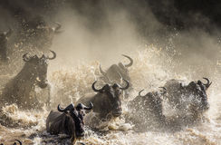 Wildebeests are crossing Mara river. Great Migration. Kenya. Tanzania. Masai Mara National Park.