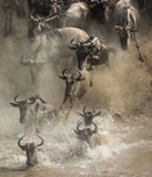 Wildebeests are crossing Mara river. Great Migration. Kenya. Tanzania. Masai Mara National Park. An excellent illustration Stock Photo