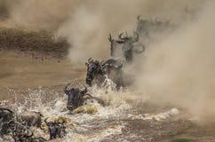 Wildebeests are crossing Mara river. Great Migration. Kenya. Tanzania. Masai Mara National Park. Stock Image