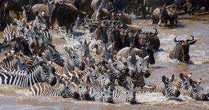 Wildebeests are crossing Mara river. Great Migration. Kenya. Tanzania. Masai Mara National Park. An excellent illustration royalty free stock photo