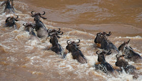 Wildebeests are crossing Mara river. Great Migration. Kenya. Tanzania. Masai Mara National Park. Stock Photography