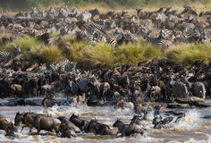 Wildebeests are crossing Mara river. Great Migration. royalty free stock photography