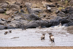 Wildebeests crossing Mara River Stock Image