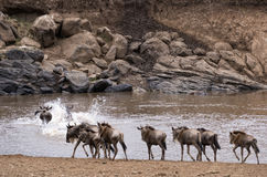 Wildebeests crossing Mara River at the time of Great Migration Royalty Free Stock Photos
