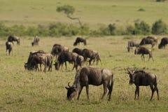 Wildebeests in de Savanne Stock Afbeeldingen