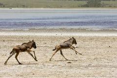 Wildebeests dejados huérfano del bebé que se ejecutan en Serengeti Fotografía de archivo libre de regalías