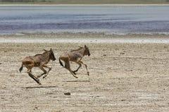 Wildebeests dejados huérfano del bebé que se ejecutan en Serengeti Imagenes de archivo