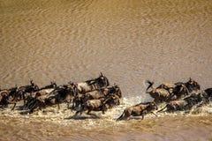 Wildebeests die de Mara rivier kruisen stock foto's