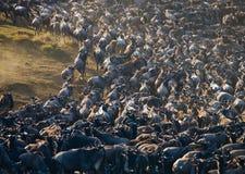 Wildebeests die de savanne doornemen Grote migratie kenia tanzania Masai Mara National Park Stock Foto