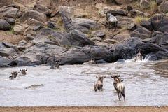Wildebeests die Mara River kruisen stock afbeelding