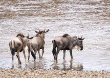 Wildebeests die in water voor de kruising van rivier binnengaan royalty-vrije stock foto's