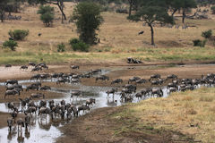 Wildebeests drinking at the river Royalty Free Stock Images