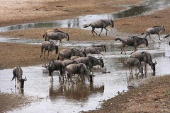 Wildebeests drinking at the river Royalty Free Stock Image