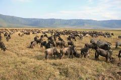 Wildebeests e zebras Fotografia de Stock