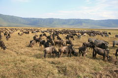 Wildebeests e zebre Fotografia Stock