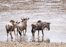 Wildebeests entering into water for crossing river Royalty Free Stock Photos