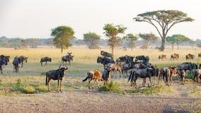 Wildebeests in evening light in Serengeti, gnus in African savanna, Tanzania, Africa royalty free stock photography
