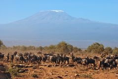 Wildebeests fronting Mt. Kilimanjaro. Wildebeests grazing in front of Mt. Kilimanjaro Stock Image