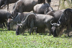 Wildebeests Royalty Free Stock Photos