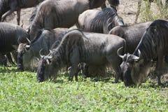 Wildebeests Royalty Free Stock Photos