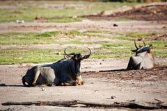 Wildebeests, gnu na Afrykańskiej sawannie, Kenja Obraz Royalty Free