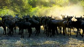 Wildebeests - gnus - against morning sun with light spots on horns in Serengeti royalty free stock photography