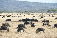 Wildebeests - gnus - i serengetien Royaltyfria Bilder