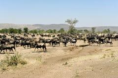 Wildebeests - gnus - i serengetien Arkivfoton