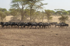 Wildebeests in  Serengeti. Lots of wildebeests at the migration in the serengeti Royalty Free Stock Photos