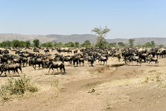 Wildebeests at Migratin Time Stock Photos