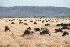 The Serengeti with hundrets of grazing wildebeests stock photo