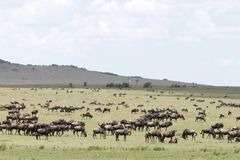 Wildebeests grazing the wide spread grassland Royalty Free Stock Images