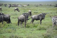Wildebeests during great migration on Serengeti Plains of Africa Stock Photo