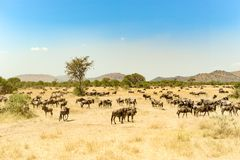 Wildebeests at great migration time in Serengeti, Africa, hundrets of wildebeests together. Hundrets of wildebeests in the Serengeti, Tanzania royalty free stock photo