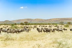 Wildebeests at great migration time in Serengeti, Africa, hundrets of wildebeests together stock photography