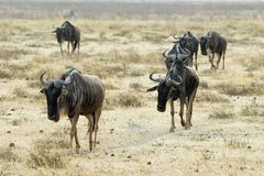 Wildebeests group in the Ngorongoro Crater, Tanzania Stock Images