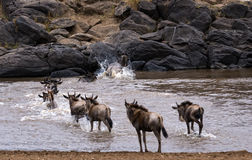Wildebeests herd crossing Mara River. Small herd of white bearded wildebeest (Connochaetes tuarinus mearnsi) crossing Mara River during annual migration from Royalty Free Stock Image
