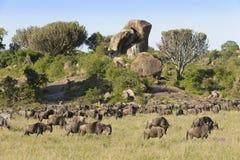 Wildebeests  herd grazing Stock Photography