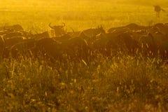 Wildebeests  herd grazing Royalty Free Stock Photography