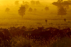 Wildebeests  herd grazing Stock Images