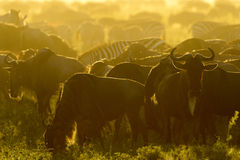 Wildebeests herd grazing stock photo
