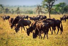 Wildebeests Herde, Gnu auf afrikanischer Savanne lizenzfreies stockbild